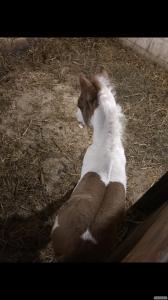 Кобылка пони голубоглазка