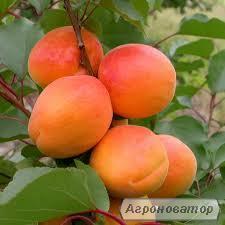 Саджанці абрикоса Цунамі
