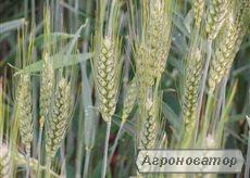 Насіння озимої австрійської пшениці – сорт МІДАС. 1 репродукція