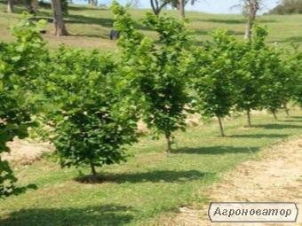 Саджанці ведмежого горіха(Сorulus colurnaL)