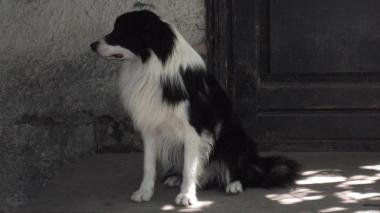 Щенки пастушьей собаки бордер-колли