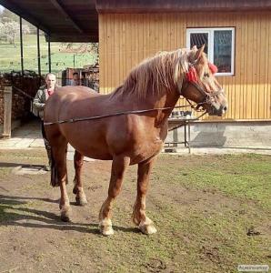 Продам коня,жеребец. Тяжеловоз