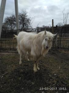 Большой козел заанен.п., дойные козы альпийки, первенцы, козлята