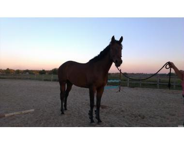 Продам лошадь(мерин)идеален под спортивную карьеру