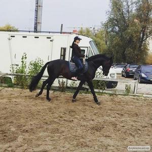 Дангар, жеребец, 6 лет, Киев