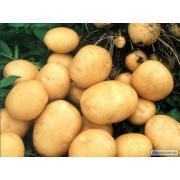 Посадочный картофель от производителя http://apkua.com Подробнее: http