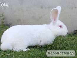 Кролики молодняк породы Термонська Белая