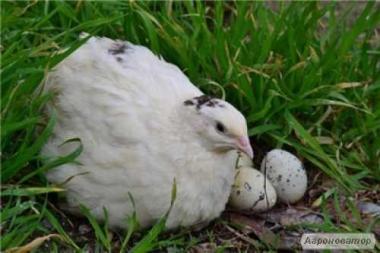 Продам яйцо тушки перепелов Манжурский и белый Техасский, Киевская обл