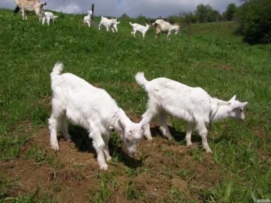 Продаємо козликів 50% зааненських від кіз високоудійних.