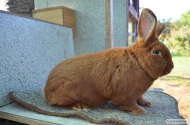Продам кролики НЗЧ від Європейських батьків