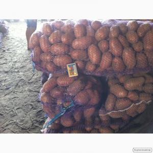 Продам товарный картофель Ред Леди от производителя