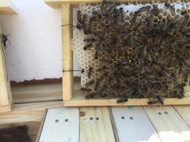 Пчеломатки КАРПАТКА Плодные матки 2018 года    (Бджоломатка,Бджолині)