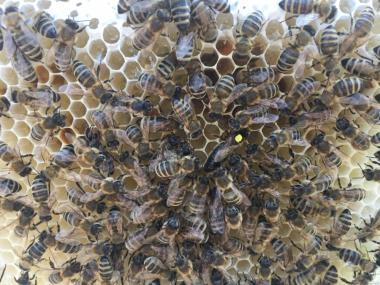 Бджоломатки КАРПАТКА Плідні матки 2018 року (Бджоломатка, Бджолині)