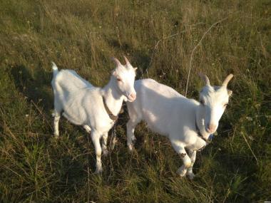Продается коза породистая