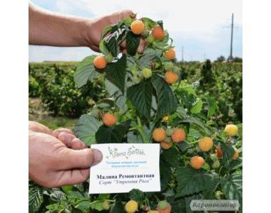Саженцы малины опт и розница в Украине. Более 10 сортов