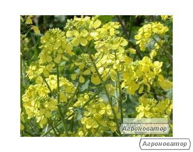 Семена горчицы озимой сарептской - сорт НОВИНКА
