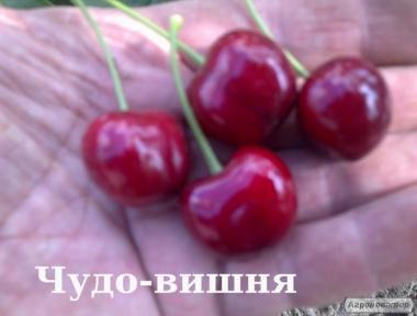 Саженцы вишни Чудовишня