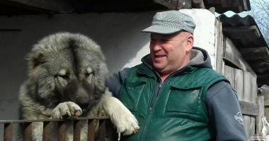 Кабель кавказької вівчарки запрошує для в'язки.