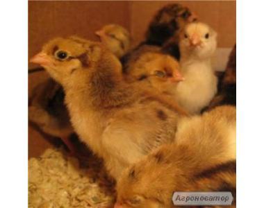 Продам курчат несучки Ломан браун