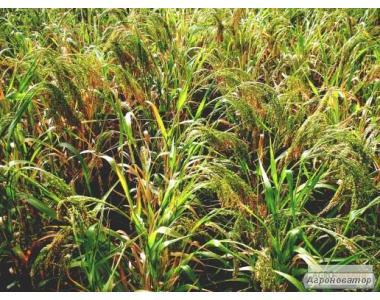 Семена желтого посевного проса сорта «Харьковское-31»(элита и 1 й реп)