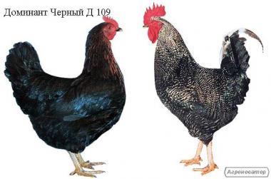 Цыплята, индюшата, утята от производителя. Опт. Розница.