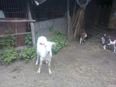 Продам молодих кіз на утримання.