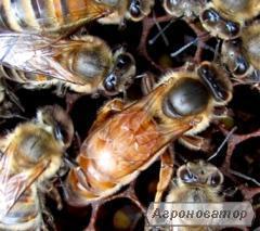Високопродуктивні плідні бджоломатки Карпатка 2018г