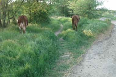 Продам корови дбайливим господарям.