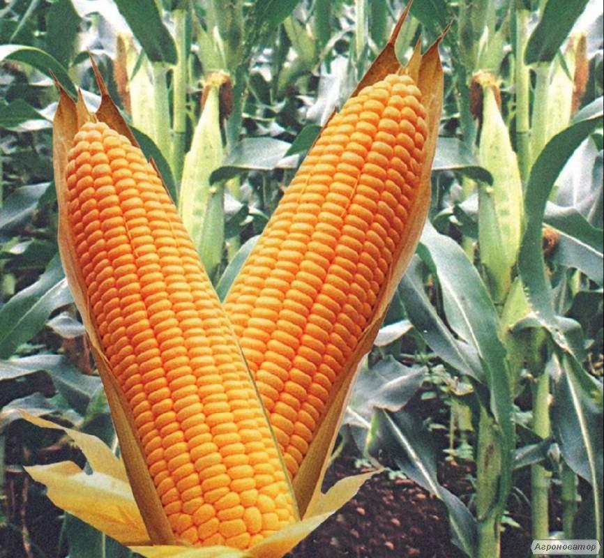 Семена кукурузы гибрида Кадр 267 МВ  (F1) от производителя