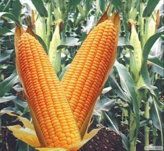 Насіння кукурудзи гібриду Кадр 267 МВ (F1) від виробника