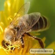 Продаю пчеломатки Украинской степной породы 2016г.Отправка Нов.почтой.