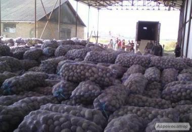 Картопля опт від 5 тонн 3.50