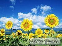 Насіння соняшнику Любаш, 120 днів