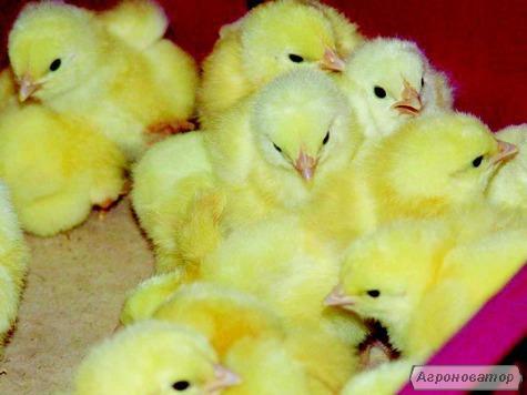 Добові курчата бройлер,від виробника