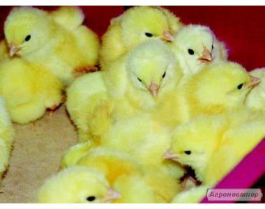 Суточные цыплята бройлер,от производителя