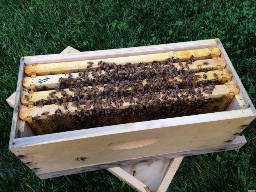 Продам пчел (пчелопакеты, отводки)