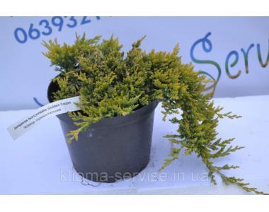 Ялівець горизонтальний Голден Карпет Golden Carpet D 35-40