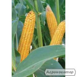 Насіння гібриду кукурудзи ЛІМАГРЕЙН ЛГ 2195. ФАО 190