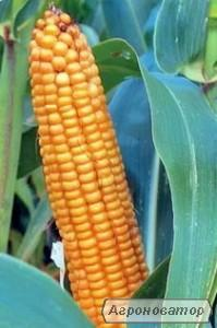 Семена гибрида кукурузы ЛИМАГРЕЙН ЛГ 2195. ФАО 190