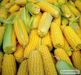 Семена кукурузы гибрид НК Симба от Сингента