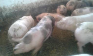 Продам свиней мясной породы (пьетрен)