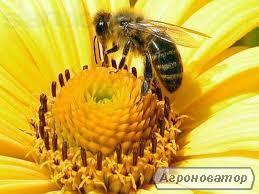 Пчеломатки Украинской степной породы.Отправка Нов.почтой в день заказа