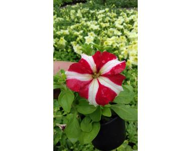 Квіти. Петунія, сурфінія (Цветы. Петуния, сурфиния)