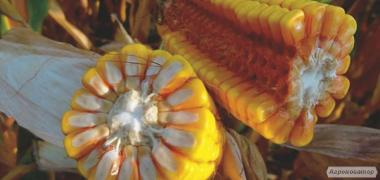 ТК 260 ФАО 260 семена гибрида кукурузы венгерской селекции
