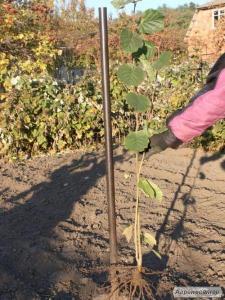 Фундук Трапезунд сеяный (полуфундук)