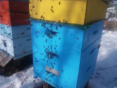 Бакфаст і Elgon ,Бакфаст бджоломатки від маток В8KOR(Лаутенталь 2017)