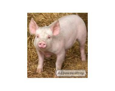 Продам свиней в живом весе от 100 кг