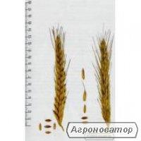 Семена посевного тритикале озимого Гарне