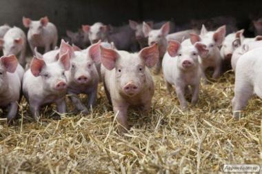 Продаж поросят, свиней