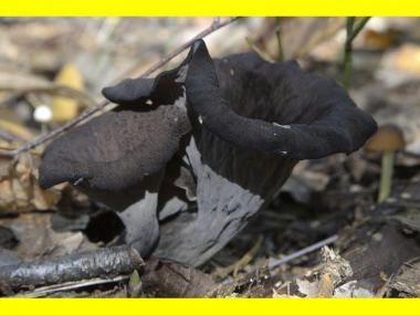 Мицелий Лисички серой / Вороночник рожковидный (Craterellus cornukopioides)
